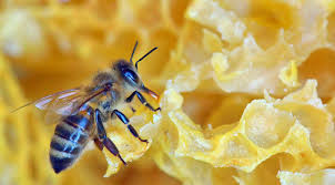 US beekeepers lost 40% of honeybee bee states over past year, study finds