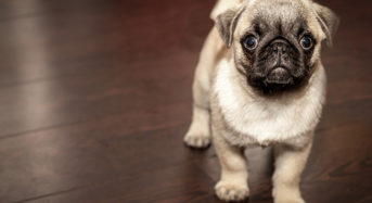 The Little Dog with a Big Dream – Meet Money Pug, The UK's New Favourite Pooch
