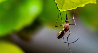 750 million genetically designed mosquitoes allows for discharge in Florida Keys
